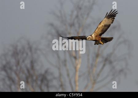 Aguilucho lagunero Circus aeruginosus un macho adulto volando en la luz de la mañana temprano. Norfolk, UK Imagen De Stock
