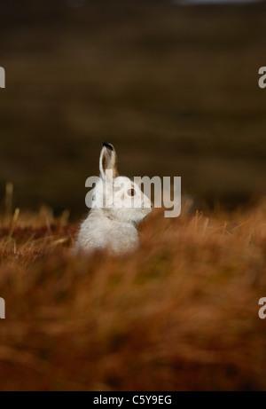 MOUNTAIN LIEBRE Lepus timidus adulto en su abrigo blanco es conspicua en páramos abiertos. Las Montañas Imagen De Stock