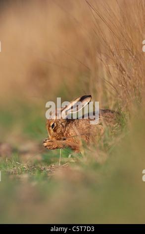 BROWN LIEBRE Lepus europaeus Perfil de un adulto de limpiarse en un campo Margen. Derbyshire, Reino Unido Imagen De Stock