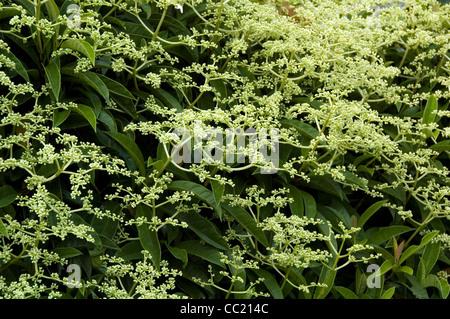 Pileostegia viburnumoides - Schizophragma - Escalada arbusto siempreverde. Imagen De Stock