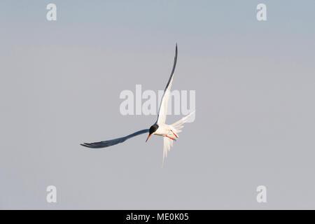 El charrán común (Sterna hirundo) en vuelo, iluminado por el sol, contra un cielo gris en el Lago Neusiedl, en el Burgenland, Austria Imagen De Stock