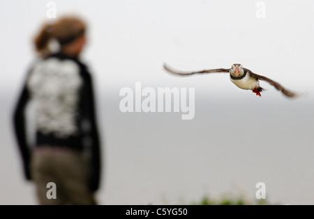 Fratercula arctica frailecillo adulto despega cerca a algunos turistas. De mayo. Islas Farne, REINO UNIDO Imagen De Stock