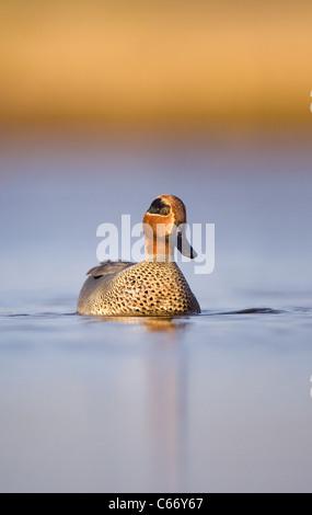 Anas crecca retrato de un hombre adulto en una laguna costera superficial. Norfolk, Reino Unido. Fotógrafo.Andrew Imagen De Stock
