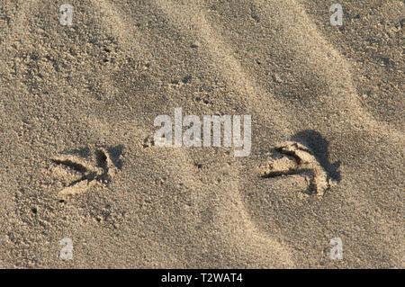Pistas de aves en las arenas de Playa de Surf cerca de Lompoc, California central coast. Fotografía Digital. Imagen De Stock