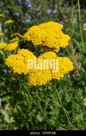 Achillea filipendulina Chapado en oro Imagen De Stock