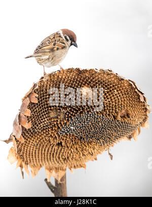 Árbol adulto macho gorrión (Passer montanus) alimentando a un antiguo jefe de girasol, Hungría Imagen De Stock