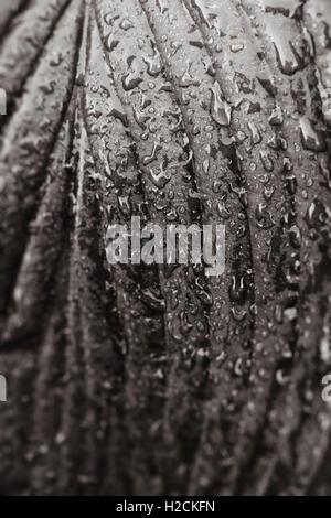 Cierre de hoja mojada con gotas de agua en blanco y negro. Detalle de la naturaleza. Imagen De Stock