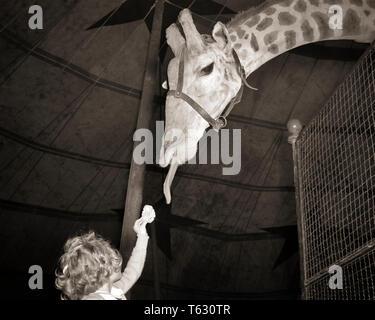 1950 chica anónimo en el zoológico ofreciendo alimentos a la jirafa intentando alcanzar con su lengua - z222 HAR001 HARS ZOO COMEDIA Conexión anónima ofreciendo MENORES DE GRANDES Y PEQUEÑOS EN BLANCO Y NEGRO la etnia CAUCÁSICA HAR001 Old Fashioned CORTO Y TALL Imagen De Stock