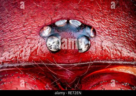 Macro extrema de una araña macho cazador Woodlouse cabeza y ojos (Dysdera crocata) aumentados 10 veces. Ancho del marco de la vida real es de 2mm. Imagen De Stock