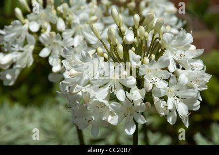Flower truss de Agapanthus Silver Jubilee - El lirio del Nilo o lirio africano Imagen De Stock