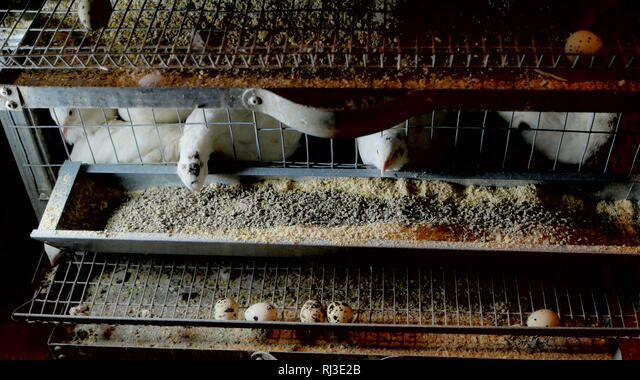 Granja De Cría De Codornices Y Huevos De Codorniz Fotografía De Stock Alamy