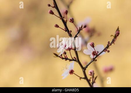 La botanique, le cerisier (Prunus serrulata), fleurit à une succursale, Braunschweig, Basse-Saxe, Allemagne, Photo Stock