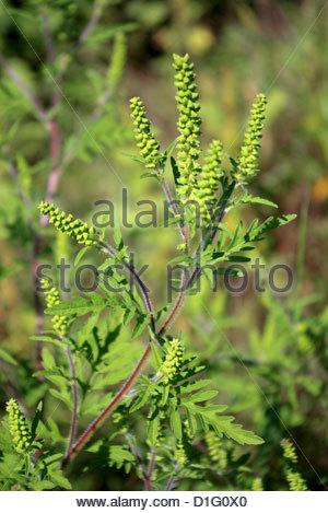 La petite herbe à poux (Ambrosia artemisiifolia) Photo Stock