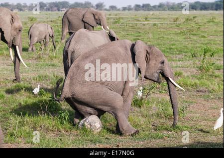 L'éléphant africain (Loxodonta africana) ayant un scratch.Le Parc national Amboseli au Kenya. Photo Stock
