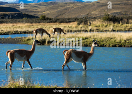 Deux guanacos (Lama guanicoe) traversant une rivière dans le Parc National des Torres del Paine.Patagonie.Chili Photo Stock