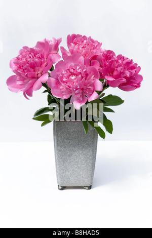 Les Pivoines rose. Nom latin: Paeonia Photo Stock