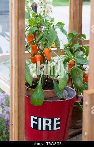 Capsicum annuum. Chili Peppers sur une plante dans un seau d'incendie à l'intérieur d'une serre à un flower show. UK Photo Stock