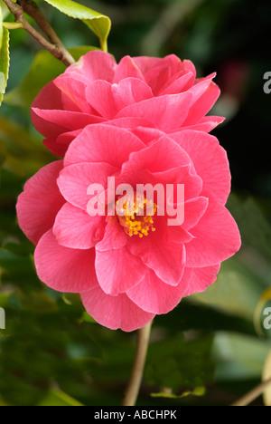 Camellia japonica oranger botanique fermer macro close-up closeup fleur pétale étamine anthère bractée Photo Stock