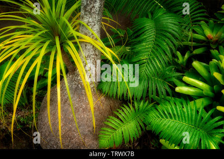 Close up de palmier Queue de Cheval à bulbe de fougères et de broméliacées. Mauai, New York Photo Stock