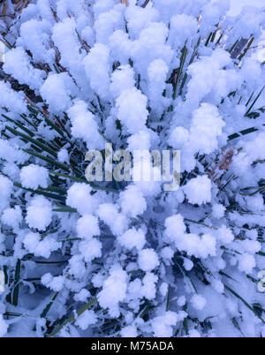 Le givre blanc sur les pointes du yucca, Désert, BLM proposé Yucca angustissima Utah Photo Stock