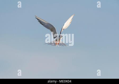 Vue frontale d'une sterne pierregarin (Sterna hirundo) en vol contre un ciel bleu au lac de Neusiedl en Burgenland, Autriche Photo Stock
