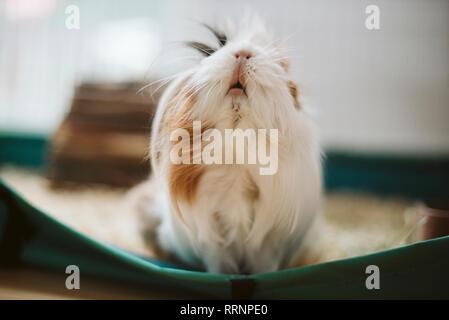 Joli Portrait, cobaye aux cheveux longs Photo Stock