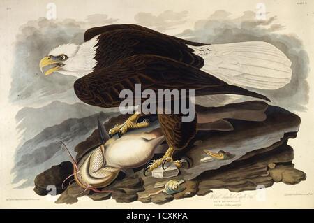 """Le pygargue à tête blanche. À partir de """"Les Oiseaux d'Amérique"""", 1827-1838. Collection privée. Photo Stock"""