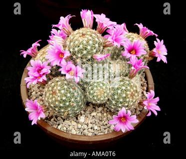 Mammillaria microcarpa plantes cactus cactus rose fleur flore rachis cultivée soulevées cultivées en serre de plantes en terre cuite po Photo Stock