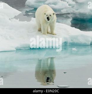 Alerte à l'ours polaire, Svalbard, Norvège (Ursus maritimus) Photo Stock