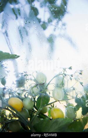 De plus en plus les tomates sur vigne Photo Stock