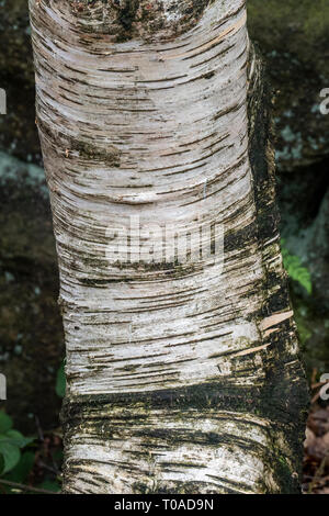 Silver Birch Tree Trunk dans le North Yorkshire, Angleterre. Photo Stock