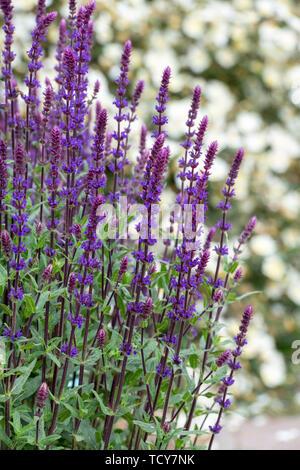 Salvia nemorosa 'Caradonna'. 'Caradonna' clary des Balkans Photo Stock