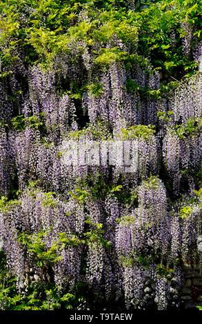 La floraison des fleurs de glycine sur mur de la maison, l'extérieur North Norfolk, Angleterre Photo Stock