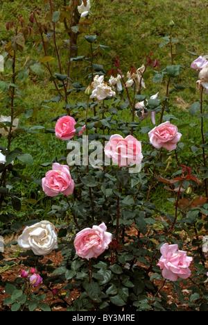 Jardin de roses DU CENTENAIRE À OOTY TAMILNADU Photo Stock