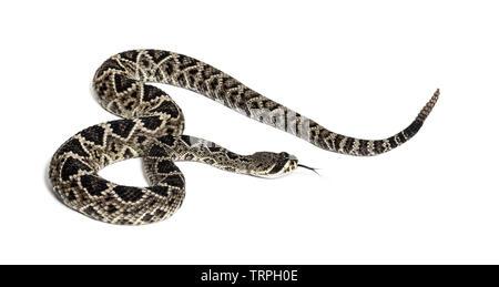 Crotalus atrox, western diamondback rattlesnake ou Texas diamond-dos, serpent venimeux contre fond blanc Photo Stock