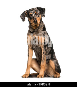 Beauceron, 15 years old, in front of white background Photo Stock