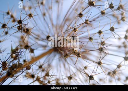 Allium séché graines plante de la famille des oignons Photo Stock