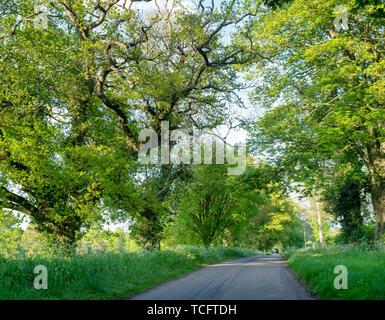 Essence: hêtre et chêne arbres le long d'une route au printemps. Little Tew, Cotswolds, Oxfordshire, Angleterre Photo Stock