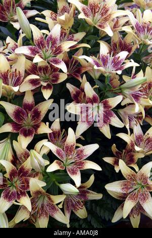 Lily white purple fleurs jardin plantes du genre frontière variété chef bud bunch England UK Royaume-Uni GB Grande-bretagne EU Photo Stock