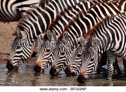 Les zèbres boire, Equus quagga, la réserve de Masai Mara, Kenya Photo Stock