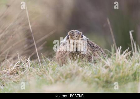 Lièvre d'Europe (Lepus europeaus) mâle adulte, au repos dans le champ d'herbe, Suffolk, Angleterre, Mars Photo Stock