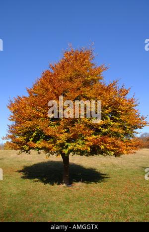 Hêtre en automne Photo Stock