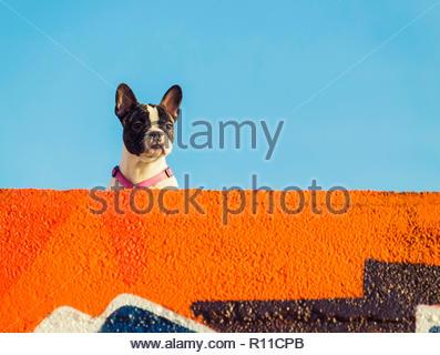 Portrait d'un chien sous un ciel clair en France Photo Stock