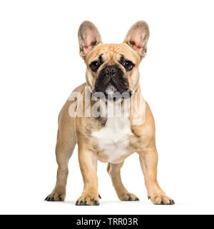 Bouledogue français, 10 years old, in front of white background Photo Stock