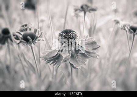 Fleurs dans jardin avec focus sélectif en noir et blanc. Nature de l'été romantique et calme. Photo Stock