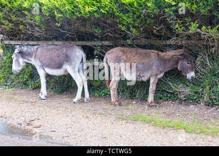 Près de Frogham, New Forest, Hampshire, Royaume-Uni. 10 juin 2019. Météo France: les ânes de chercher refuge dans des fortes pluies dans le parc national New Forest, Hampshire. Credit: Carolyn Jenkins/Alamy Live News Photo Stock