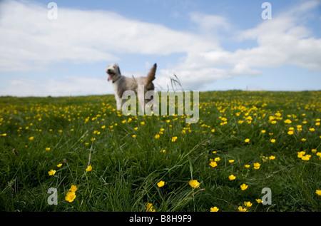 Collie barbu tournant dans un pré Photo Stock