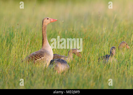 Les oies cendrées (Anser anser) avec ses jeunes enfants debout dans un champ d'herbe au bord du lac de Neusiedl, dans le Burgenland, Autriche Photo Stock