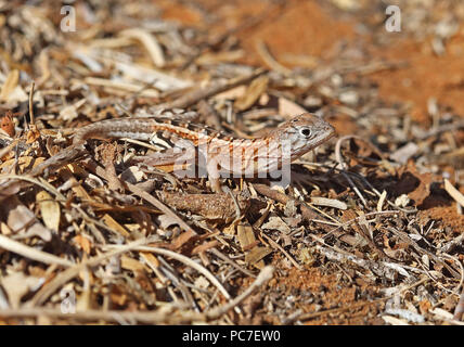 Madagascar trois-eyed Chalarodon madagascariensis (Lézard) des profils dans le sable, endémique de Madagascar, Mosa Parc Ifaty, Madagascar Novemb Photo Stock
