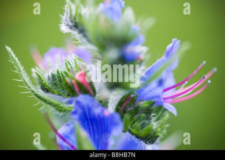 Nom commun Nom latin Boraginaceae Vipérine commune Photo Stock